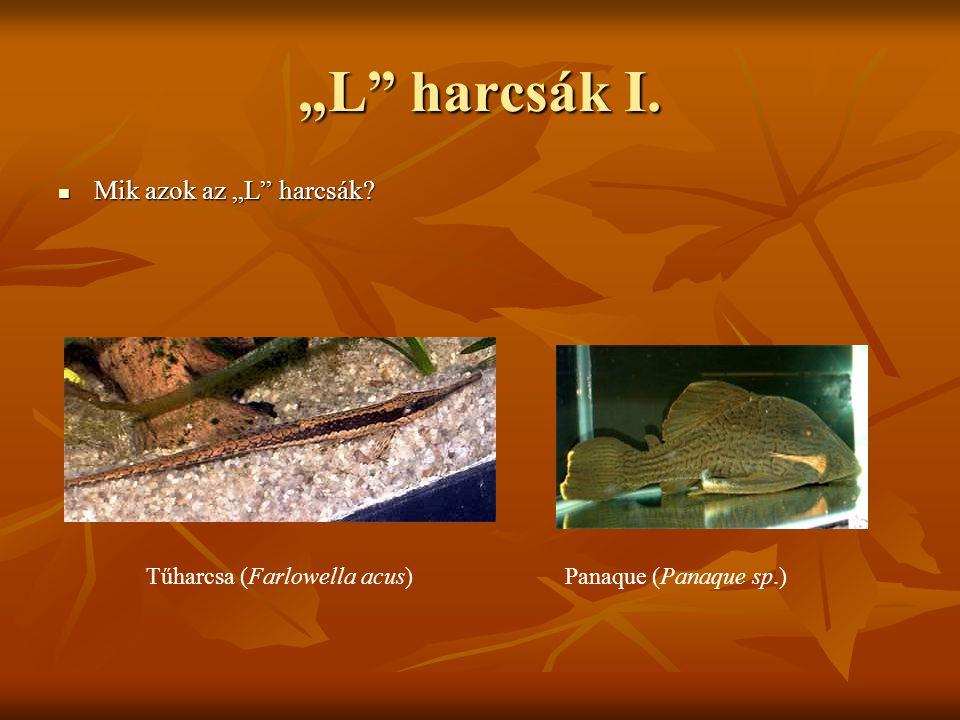 "Tűharcsa (Farlowella acus)Panaque (Panaque sp.) ""L"" harcsák I. Mik azok az ""L"" harcsák? Mik azok az ""L"" harcsák?"