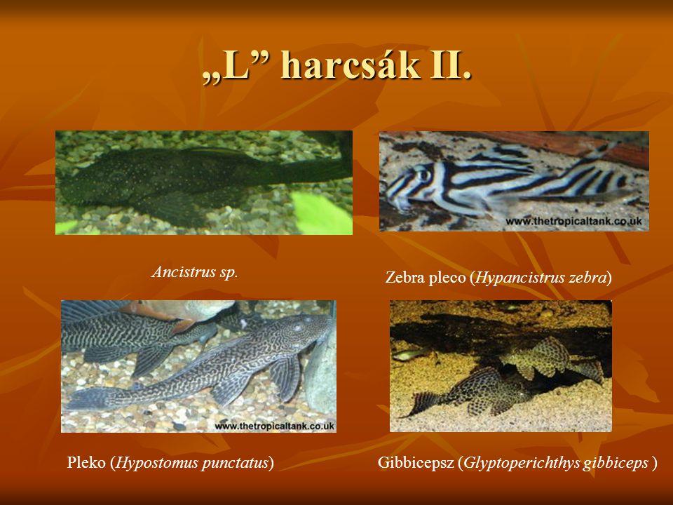"""""""L"""" harcsák II. Ancistrus sp. Zebra pleco (Hypancistrus zebra) Pleko (Hypostomus punctatus)Gibbicepsz (Glyptoperichthys gibbiceps )"""