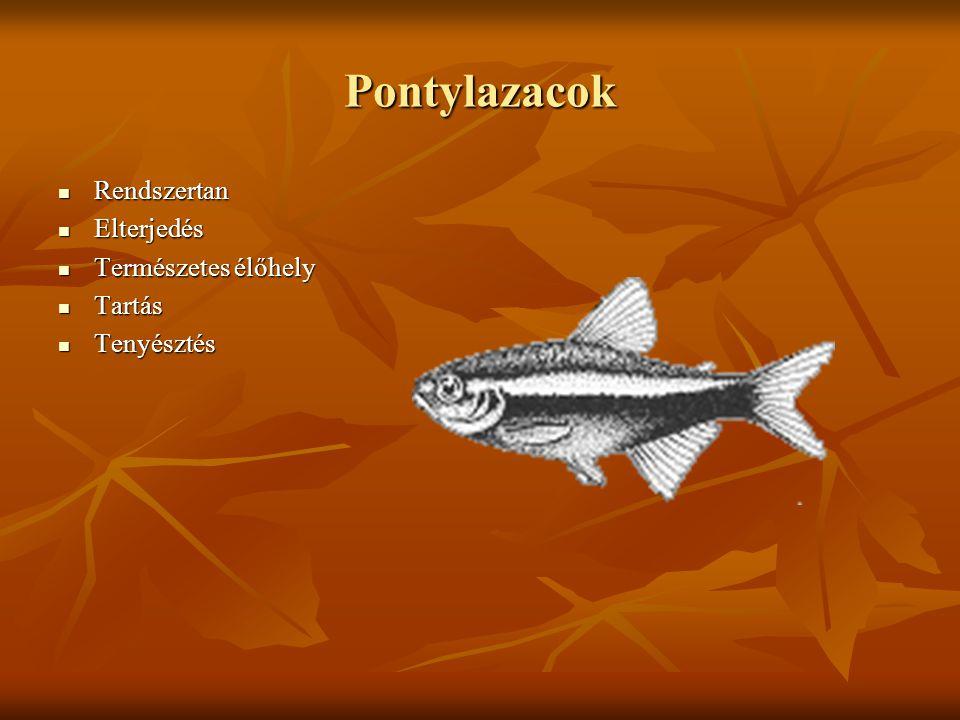 Pontylazac fajismeret I.Citromlazac (Hyphessobrycon pulchripinnis) Fekete neon (H.