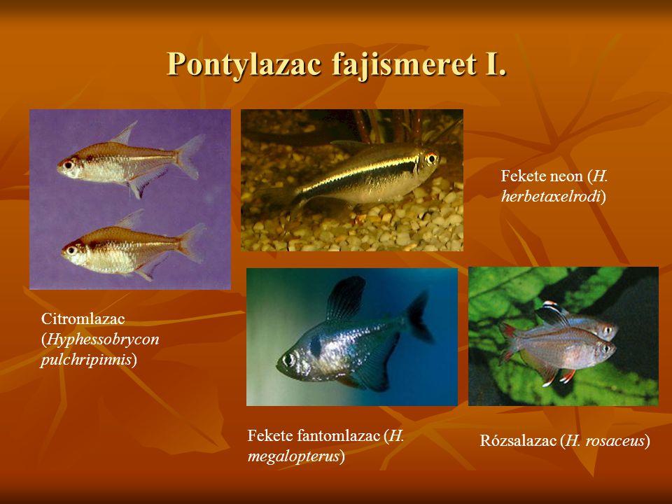 Pontylazac fajismeret I. Citromlazac (Hyphessobrycon pulchripinnis) Fekete neon (H. herbetaxelrodi) Fekete fantomlazac (H. megalopterus) Rózsalazac (H