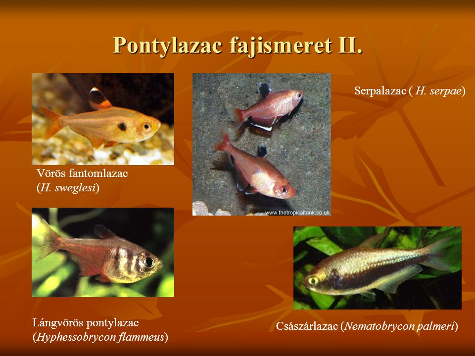 Pontylazac fajismeret II. Vörös fantomlazac (H. sweglesi) Lángvörös pontylazac (Hyphessobrycon flammeus) Serpalazac ( H. serpae) Császárlazac (Nematob