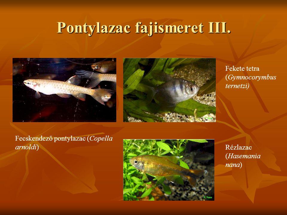 Pontylazac fajismeret III. Fecskendező pontylazac (Copella arnoldi) Fekete tetra (Gymnocorymbus ternetzi) Rézlazac (Hasemania nana)