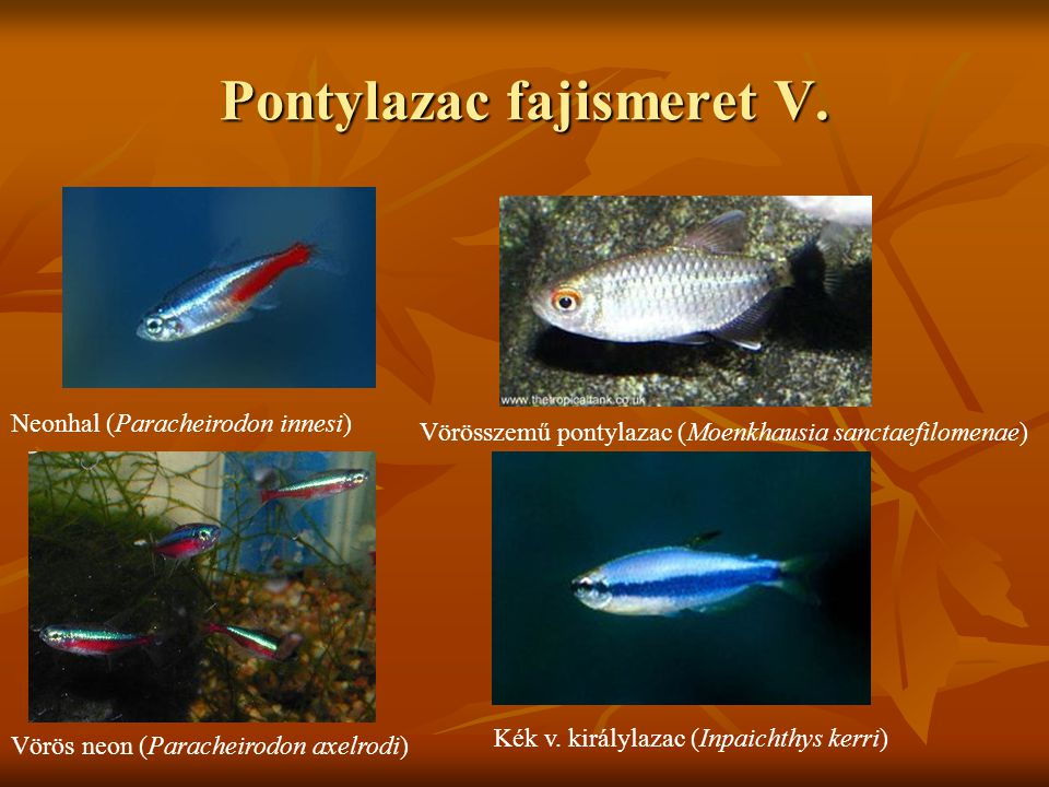 Pontylazac fajismeret V. Neonhal (Paracheirodon innesi) Vörös neon (Paracheirodon axelrodi) Vörösszemű pontylazac (Moenkhausia sanctaefilomenae) Kék v