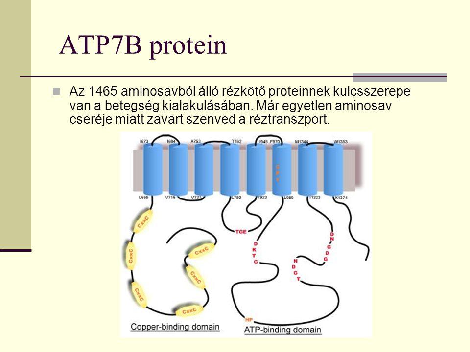 ATP7B protein Az 1465 aminosavból álló rézkötő proteinnek kulcsszerepe van a betegség kialakulásában. Már egyetlen aminosav cseréje miatt zavart szenv