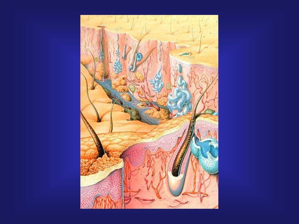 A sebkezelés újabb lehetőségei Biotechnológiai bőrhelyettesítés Többrétegű bőrpótlás 1992, Organogenesis: Graftskin ®, Testskin ® Apligraf Apligraf ® LSE (Organogenesis, USA és Novartis, CH) - kétrétegű allogén élő bőrhelyettesítő