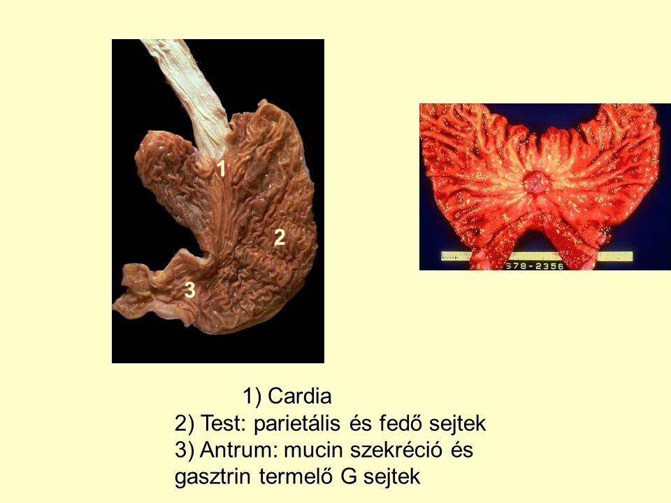1) Cardia 2) Test: parietális és fedő sejtek 3) Antrum: mucin szekréció és gasztrin termelő G sejtek 1 2 3