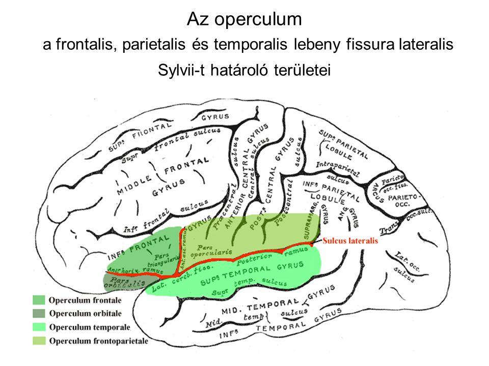 Az operculum a frontalis, parietalis és temporalis lebeny fissura lateralis Sylvii-t határoló területei