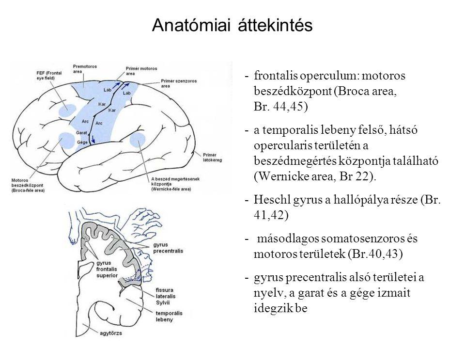 Anatómiai áttekintés -frontalis operculum: motoros beszédközpont (Broca area, Br. 44,45) -a temporalis lebeny felső, hátsó opercularis területén a bes
