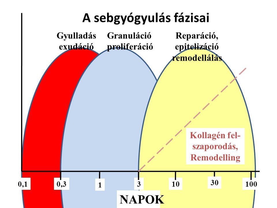 A sebgyógyulás fázisai 130 NAPOK 3100,31000,1 Kollagén fel- szaporodás, Remodelling Gyulladás exudáció Granuláció proliferáció 1 30 Reparáció, epitelizáció remodellálás
