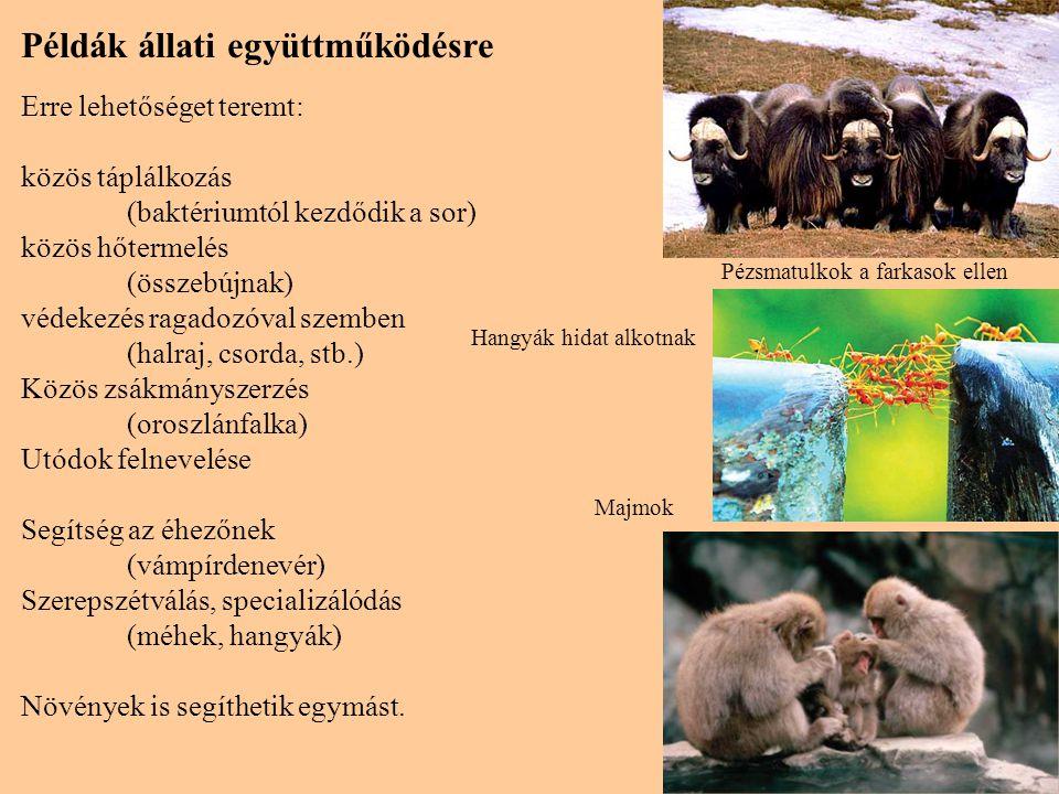 12 Példák állati együttműködésre Erre lehetőséget teremt: közös táplálkozás (baktériumtól kezdődik a sor) közös hőtermelés (összebújnak) védekezés rag