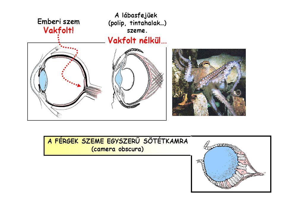 Csapok a sárgafoltban Csapok a periférián pálcikák fény szemfenék üvegtest Ganglionsejtek és axonok Amacrin sejtek Bipoláris sejtek Horizontális sejte