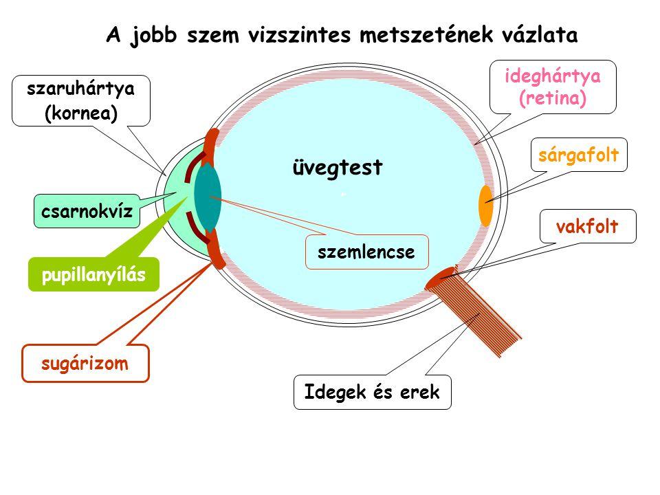 A jobb szem vizszintes metszetének vázlata ideghártya (retina) sárgafolt Idegek és erek vakfolt üvegtest szemlencse pupillanyílás sugárizom szaruhártya (kornea) csarnokvíz