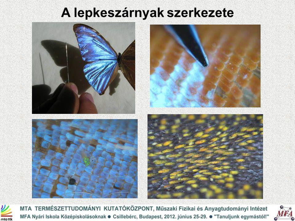 Ornithoptera urvillanus