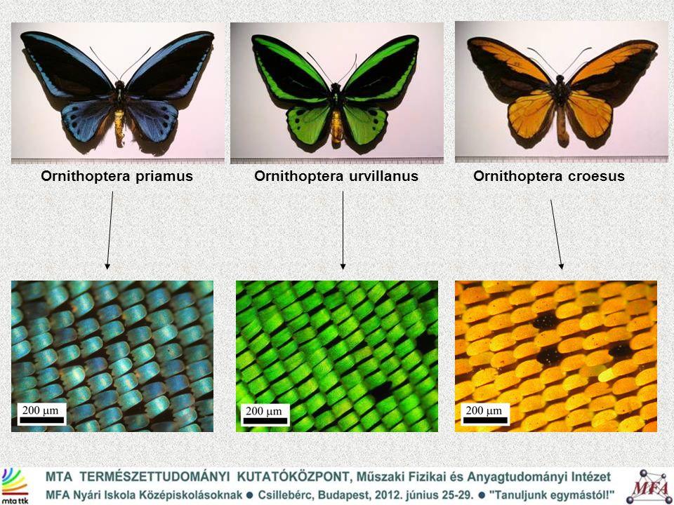 Ornithoptera urvillanusOrnithoptera croesusOrnithoptera priamus