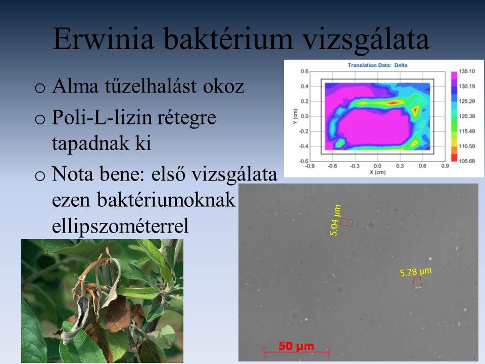 Erwinia baktérium vizsgálata o Alma tűzelhalást okoz o Poli-L-lizin rétegre tapadnak ki o Nota bene: első vizsgálata ezen baktériumoknak ellipszométerrel