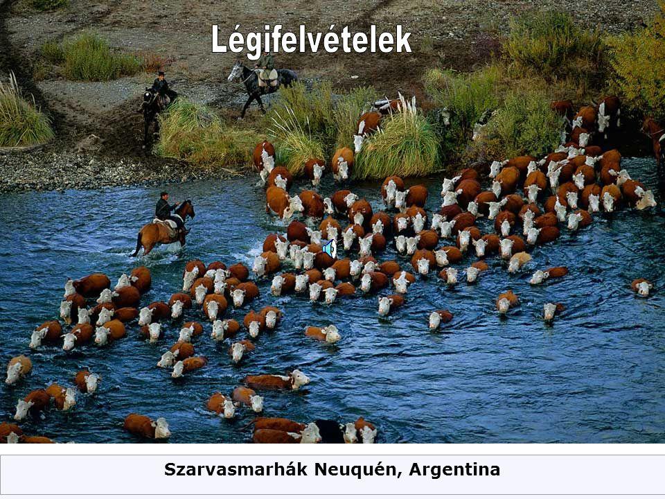 Szarvasmarhák Neuquén, Argentina