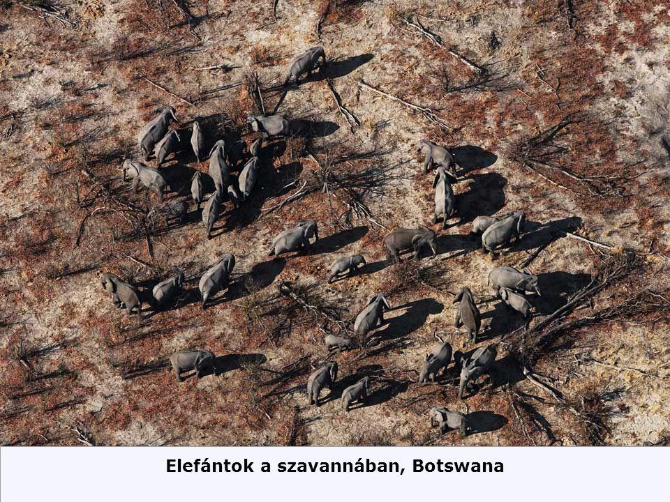 Elefántok a szavannában, Botswana