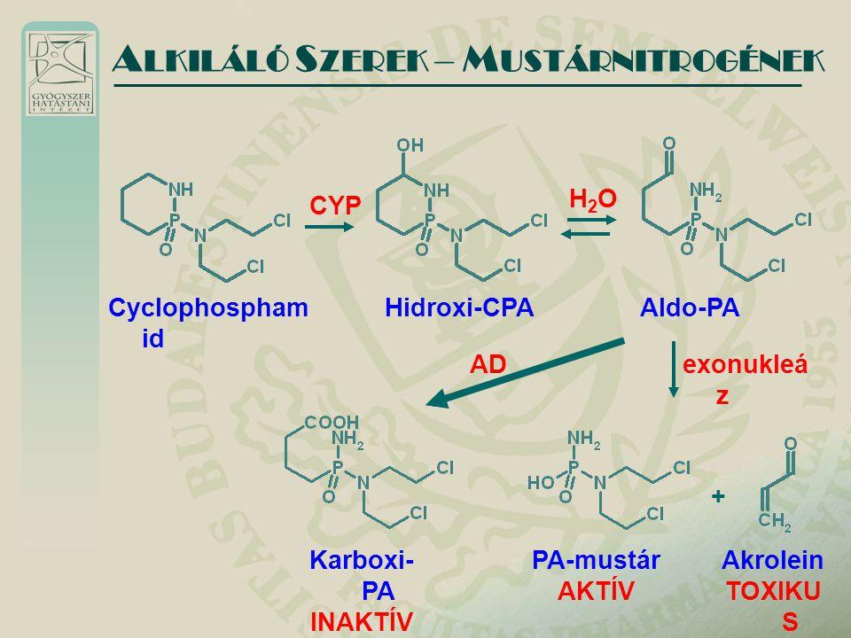 A LKILÁLÓ S ZEREK – M USTÁRNITROGÉNEK Cyclophospham id CYP Hidroxi-CPA Aldo-PA Karboxi- PA INAKTÍV PA-mustár AKTÍV H2OH2O ADexonukleá z Akrolein TOXIK