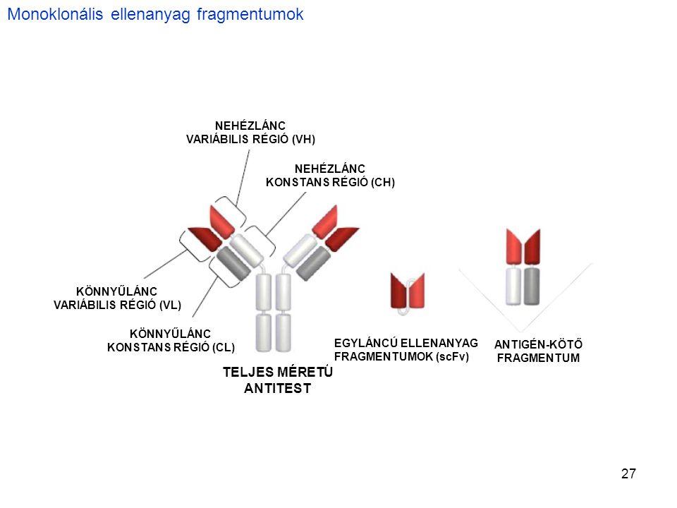 27 Monoklonális ellenanyag fragmentumok TELJES MÉRETŰ ANTITEST KÖNNYŰLÁNC KONSTANS RÉGIÓ (CL) KÖNNYŰLÁNC VARIÁBILIS RÉGIÓ (VL) NEHÉZLÁNC VARIÁBILIS RÉGIÓ (VH) NEHÉZLÁNC KONSTANS RÉGIÓ (CH) ANTIGÉN-KÖTŐ FRAGMENTUM EGYLÁNCÚ ELLENANYAG FRAGMENTUMOK (scFv)