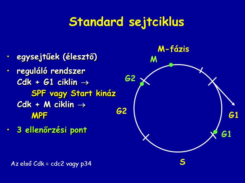 Standard sejtciklus egysejtűek (élesztő) reguláló rendszer Cdk + G1 ciklin  SPF vagy Start kináz Cdk + M ciklin  MPF 3 ellenőrzési pont egysejtűek (élesztő) reguláló rendszer Cdk + G1 ciklin  SPF vagy Start kináz Cdk + M ciklin  MPF 3 ellenőrzési pont G2 S G1 M-fázis G1 G2 M Az első Cdk = cdc2 vagy p34