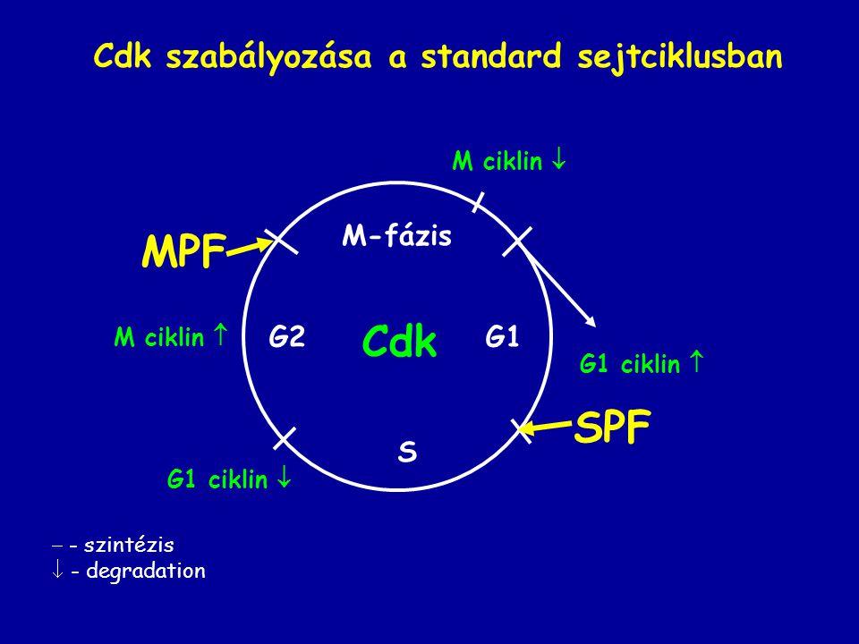 G2 S G1 M-fázis Cdk M ciklin  G1 ciklin  G1 ciklin  M ciklin  SPF MPF  - szintézis  - degradation Cdk szabályozása a standard sejtciklusban
