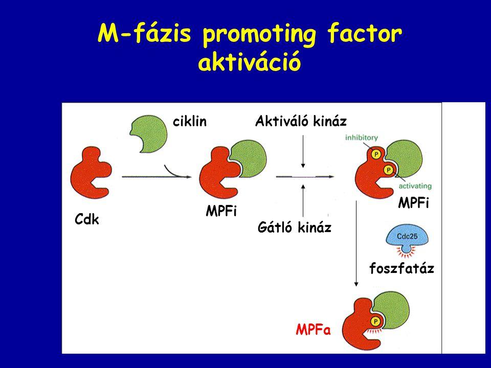 M-fázis promoting factor aktiváció Cdk ciklinAktiváló kináz Gátló kináz MPFi MPFa foszfatáz