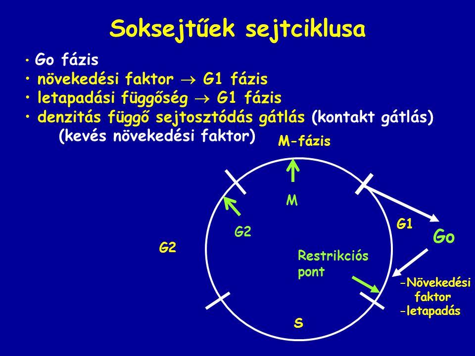Soksejtűek sejtciklusa Go fázis növekedési faktor  G1 fázis letapadási függőség  G1 fázis denzitás függő sejtosztódás gátlás (kontakt gátlás) (kevés növekedési faktor) Go G2 G1 S M-fázis Restrikciós pont G2 M -Növekedési faktor -letapadás