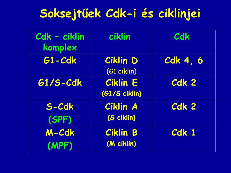 Soksejtűek Cdk-i és ciklinjei Cdk – ciklin komplex ciklin Cdk G1-CdkCiklin D (G1 ciklin) Cdk 4, 6 G1/S-CdkCiklin E (G1/S ciklin) Cdk 2 S-Cdk (SPF) Ciklin A (S ciklin) Cdk 2 M-Cdk (MPF) Ciklin B (M ciklin) Cdk 1
