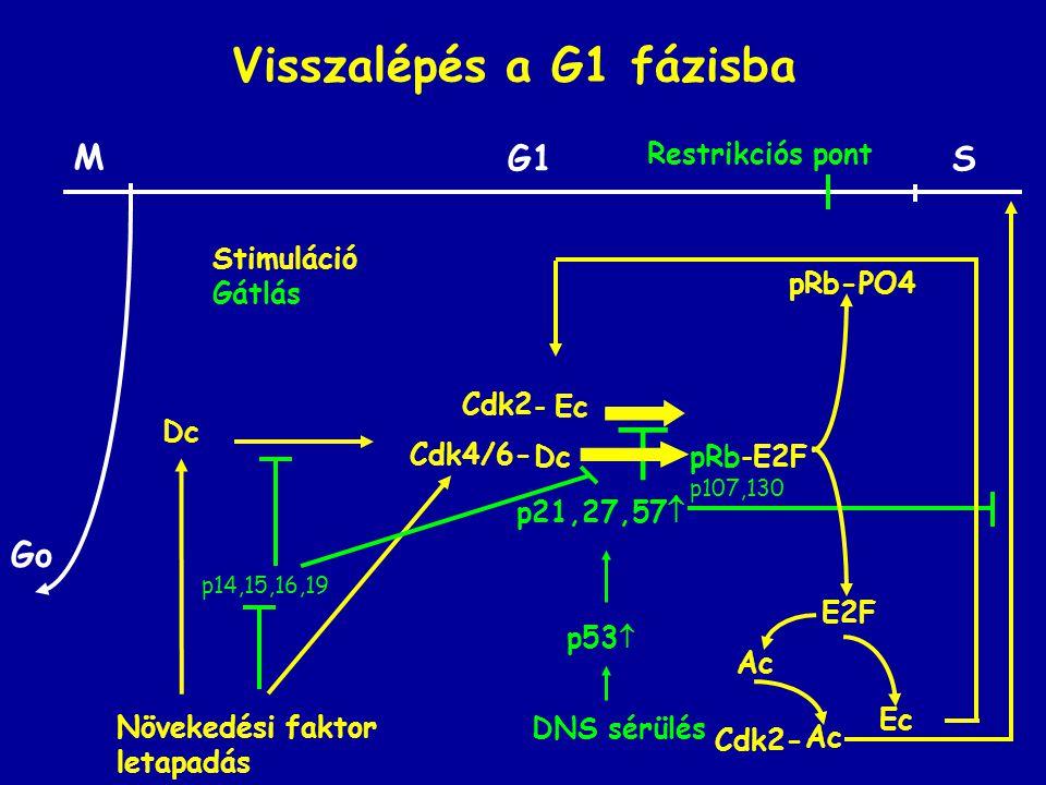 Visszalépés a G1 fázisba Ac  p21,27,57  p53  DNS sérülés pRb-E2F p107,130 pRb-PO4 E2F Dc Ec - Ec M SG1 Go Restrikciós pont Stimuláció Gátlás Cdk2- Cdk2 Növekedési faktor letapadás Dc Cdk4/6- p14,15,16,19