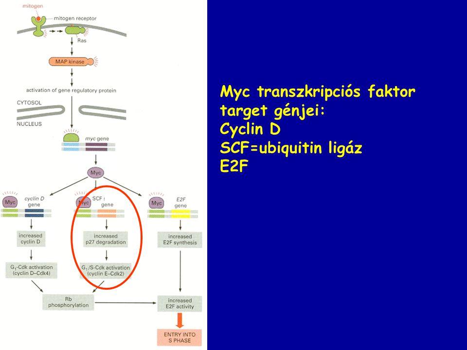 Myc transzkripciós faktor target génjei: Cyclin D SCF=ubiquitin ligáz E2F