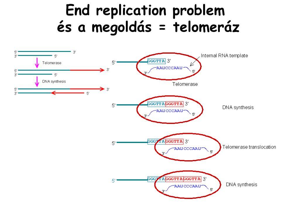 End replication problem és a megoldás = telomeráz