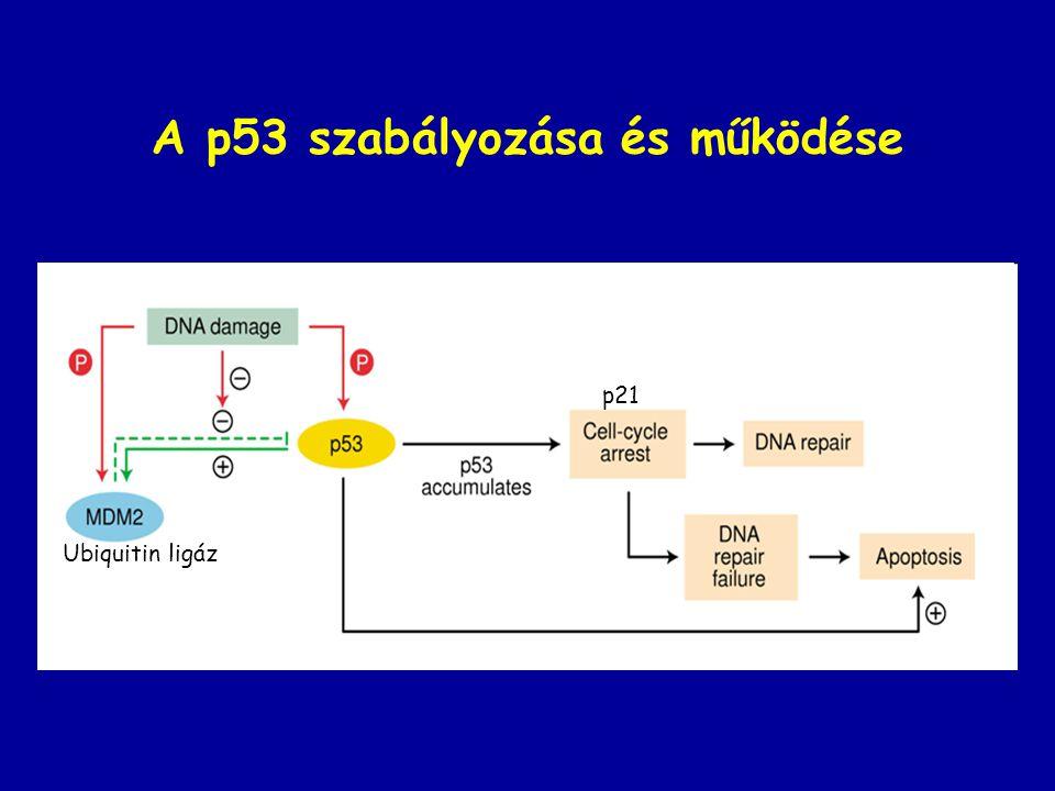 A p53 szabályozása és működése p21 Ubiquitin ligáz