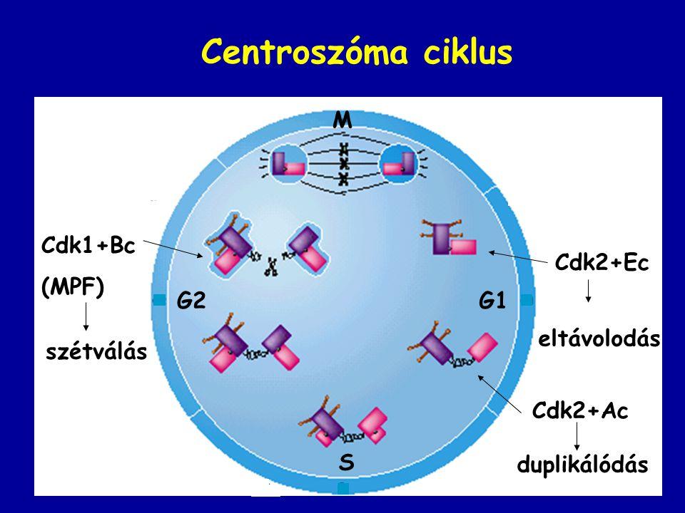 Centroszóma ciklus Cdk2+Ec Cdk1+Bc (MPF) Cdk2+Ac S G1G2 M eltávolodás duplikálódás szétválás