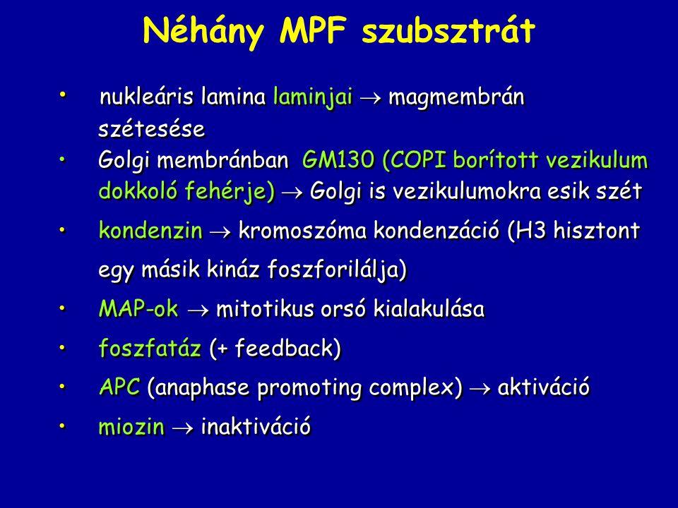 Néhány MPF szubsztrát nukleáris lamina laminjai  magmembrán szétesése Golgi membránban GM130 (COPI borított vezikulum dokkoló fehérje)  Golgi is vezikulumokra esik szét kondenzin  kromoszóma kondenzáció (H3 hisztont egy másik kináz foszforilálja) MAP-ok  mitotikus orsó kialakulása foszfatáz (+ feedback) APC (anaphase promoting complex)  aktiváció miozin  inaktiváció nukleáris lamina laminjai  magmembrán szétesése Golgi membránban GM130 (COPI borított vezikulum dokkoló fehérje)  Golgi is vezikulumokra esik szét kondenzin  kromoszóma kondenzáció (H3 hisztont egy másik kináz foszforilálja) MAP-ok  mitotikus orsó kialakulása foszfatáz (+ feedback) APC (anaphase promoting complex)  aktiváció miozin  inaktiváció