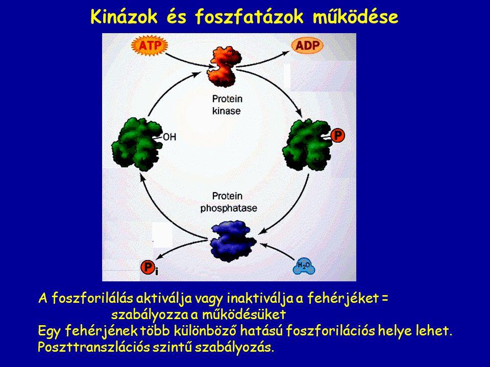 Kinázok és foszfatázok működése A foszforilálás aktiválja vagy inaktiválja a fehérjéket = szabályozza a működésüket Egy fehérjének több különböző hatású foszforilációs helye lehet.