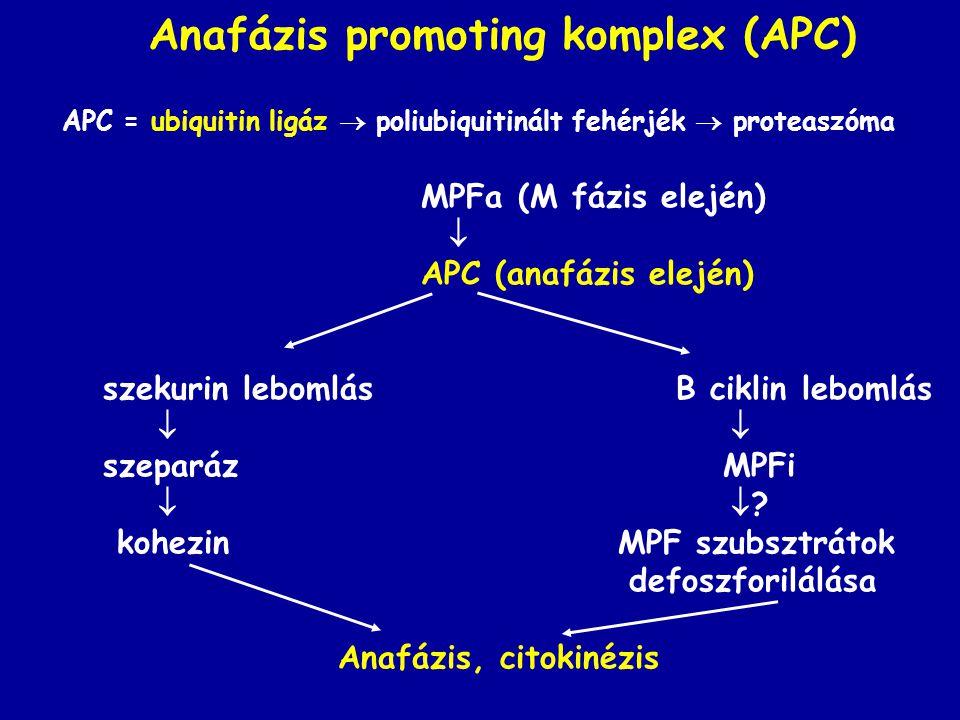 Anafázis promoting komplex (APC) APC = ubiquitin ligáz  poliubiquitinált fehérjék  proteaszóma MPFa (M fázis elején)  APC (anafázis elején) szekurin lebomlás B ciklin lebomlás  szeparáz MPFi   .