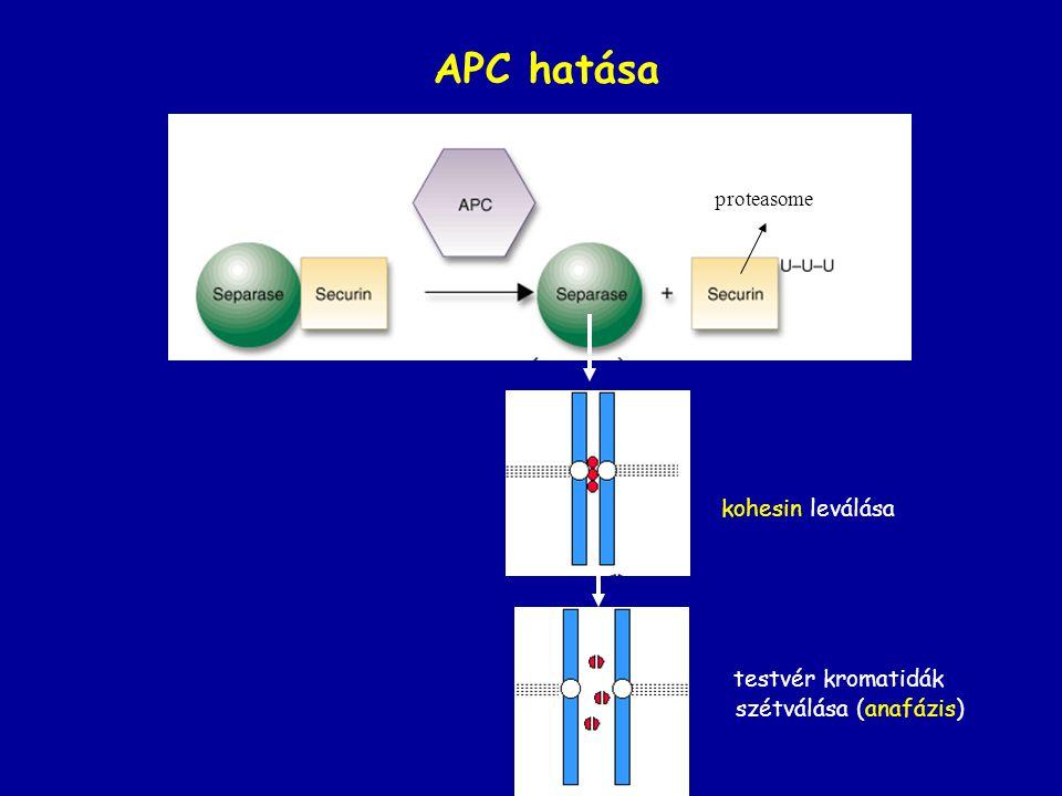 APC hatása kohesin leválása testvér kromatidák szétválása (anafázis) proteasome