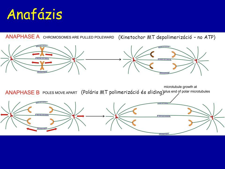 Anafázis (Kinetochor MT depolimerizáció – no ATP) (Poláris MT polimerizáció és sliding)