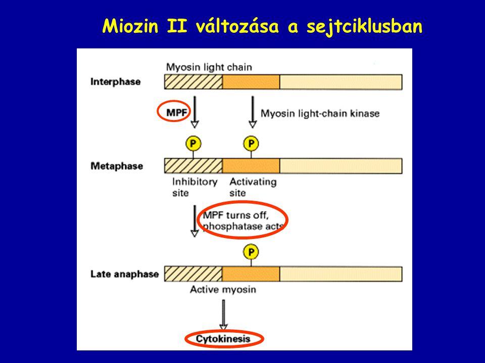 Miozin II változása a sejtciklusban