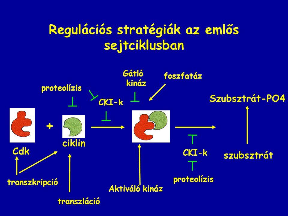 Regulációs stratégiák az emlős sejtciklusban + szubsztrát Szubsztrát-PO4 Cdk ciklin transzkripció transzláció  proteolízis  CKI-k  Aktiváló kináz  Gátló kináz foszfatáz CKI-k  proteolízis 