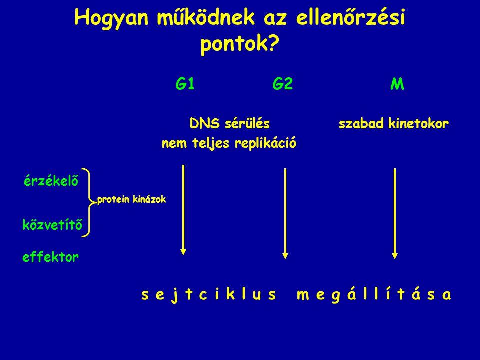 Hogyan működnek az ellenőrzési pontok? G1 G2 M DNS sérülés szabad kinetokor nem teljes replikáció érzékelő protein kinázok közvetítő effektor s e j t