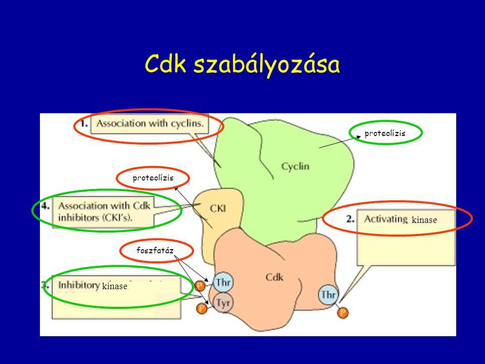 Cdk szabályozása proteolízis foszfatáz kinase