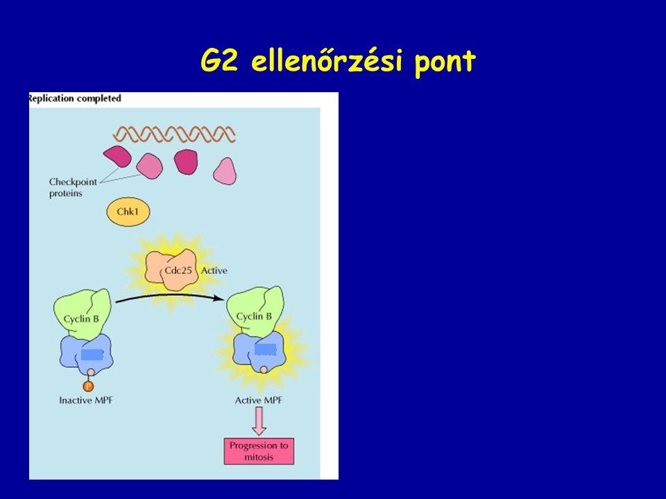 G2 ellenőrzési pont ATR Protein kináz érzékelő közvetítő effektor