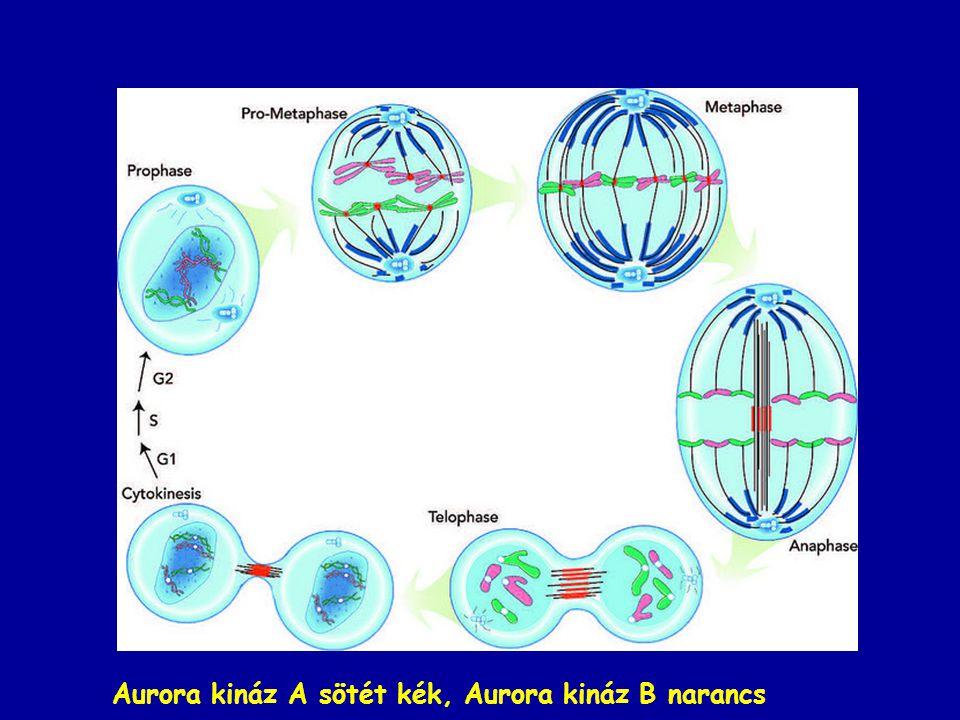 Aurora kináz A sötét kék, Aurora kináz B narancs