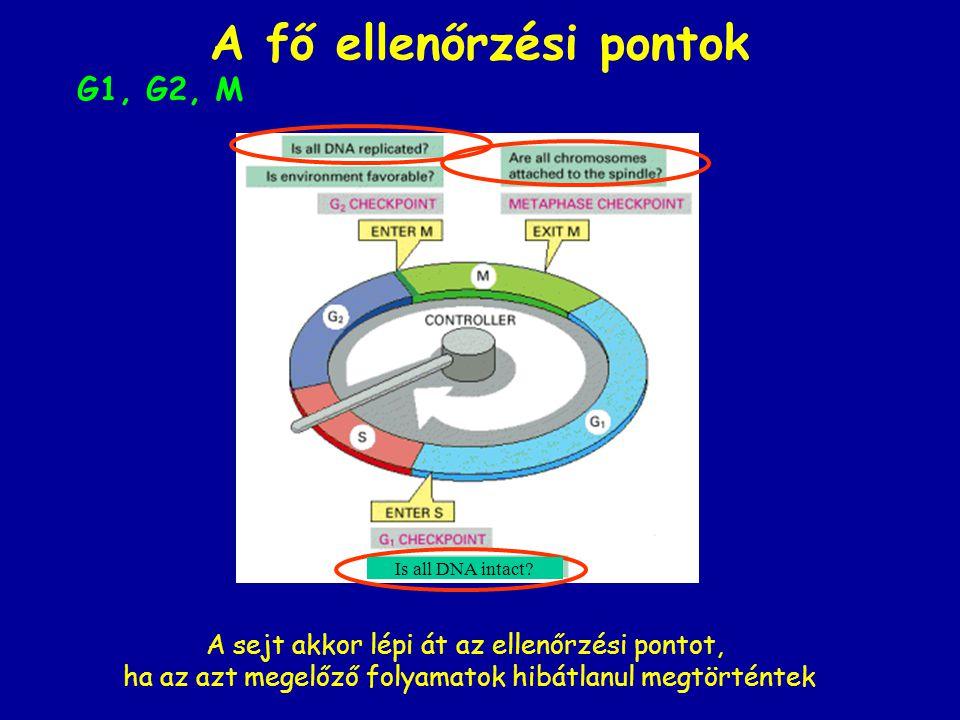 A fő ellenőrzési pontok G1, G2, M Is all DNA intact? A sejt akkor lépi át az ellenőrzési pontot, ha az azt megelőző folyamatok hibátlanul megtörténtek