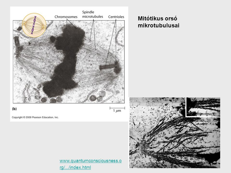 www.quantumconsciousness.o rg/.../index.html Mitótikus orsó mikrotubulusai