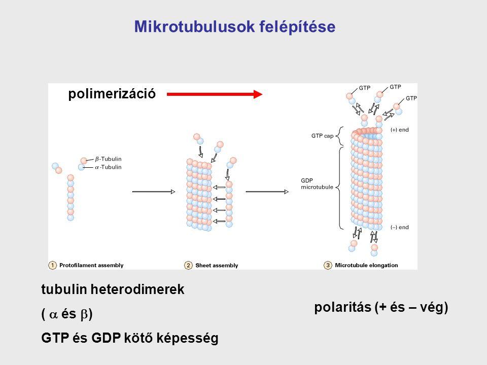 tubulin heterodimerek (  és  ) GTP és GDP kötő képesség polaritás (+ és – vég) Mikrotubulusok felépítése polimerizáció