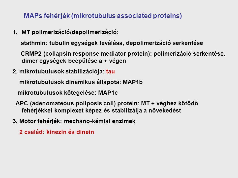 MAPs fehérjék (mikrotubulus associated proteins) 1.MT polimerizáció/depolimerizáció: stathmin: tubulin egységek leválása, depolimerizáció serkentése C