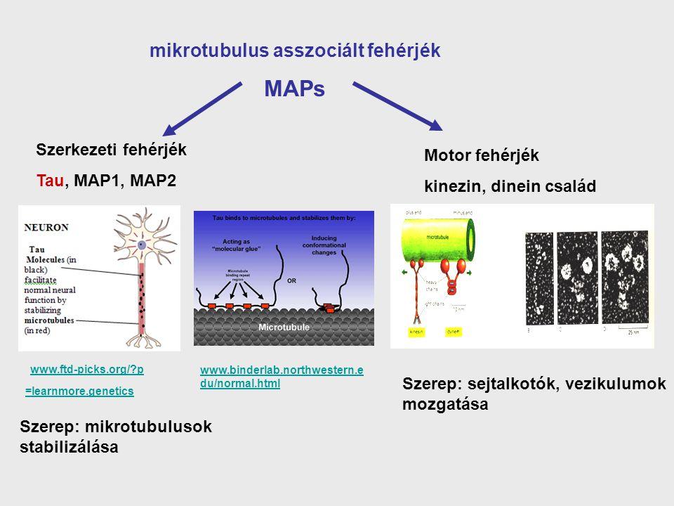 mikrotubulus asszociált fehérjék MAPs Szerkezeti fehérjék Tau, MAP1, MAP2 Motor fehérjék kinezin, dinein család www.ftd-picks.org/?p =learnmore.geneti