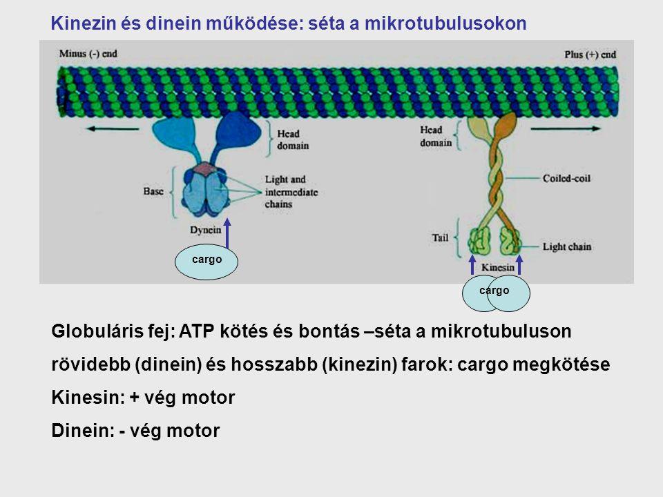 Globuláris fej: ATP kötés és bontás –séta a mikrotubuluson rövidebb (dinein) és hosszabb (kinezin) farok: cargo megkötése Kinesin: + vég motor Dinein: